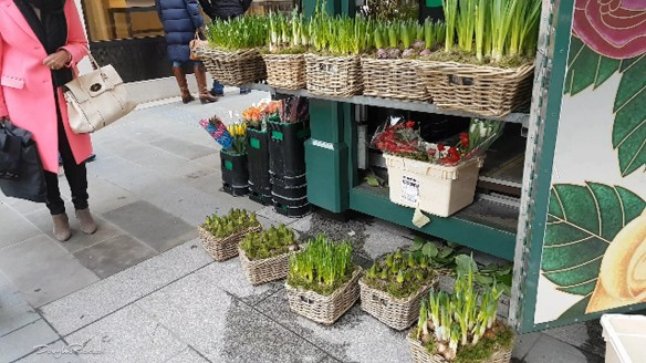 A denizen of New Bond Street admires spring flower bulbs